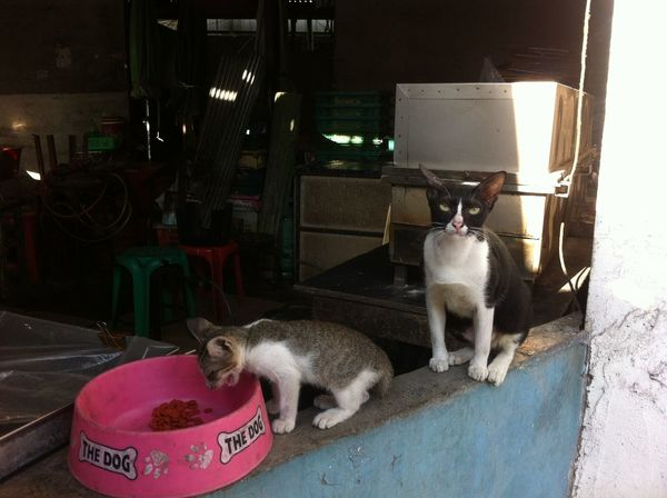 two cat in market. Cat Thai Cat Eat Food Mammal Animal Pets Pet Lovely Thai Cat Lovely Cat Lovely