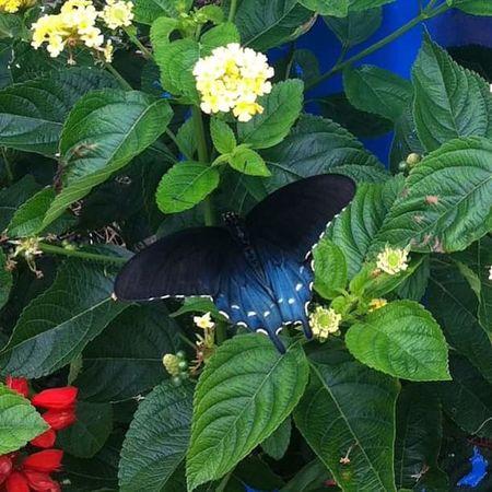 Butterfly ❤ Butterfly Butterflyporn Butterfly Wings