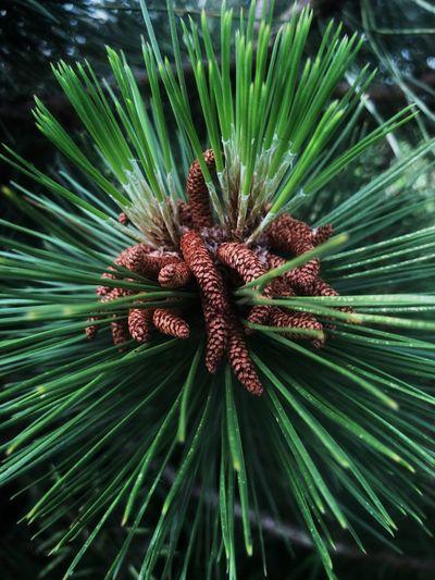 Pinecone bud