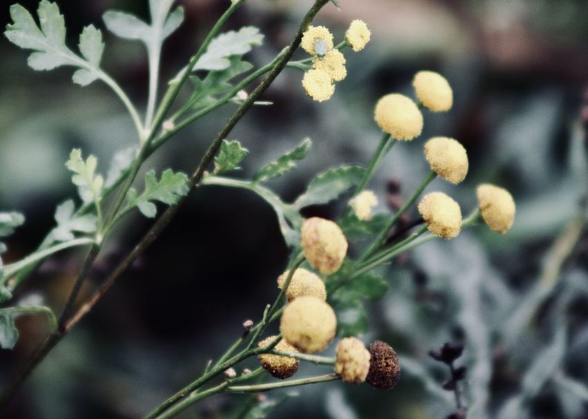 yellow tansy and green leaves Field Green Natural The Week On EyeEm Wildflower Beauty In Nature Branch Close-up End Of Summer Flower Focus On Foreground Fragility Freshness Garden Greenery Growth Leaf Leaves Lush Foliage Nature Outdoors Plant Season  Tansy Yellow