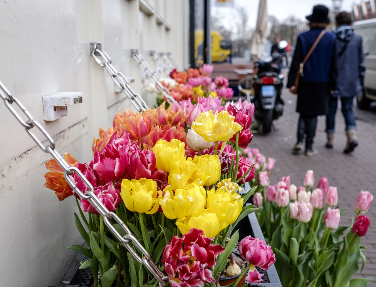 Tulips blooming by street