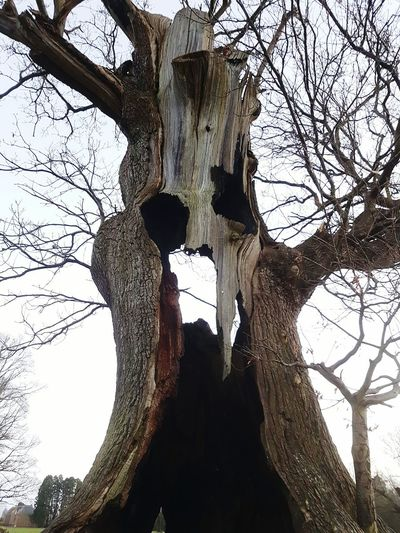 Goliath Tree Branch Tree Trunk Sky Low Angle View Bare Tree Outdoors Nature Tree_collection  Tree And Sky Scary Tree Scary Trees Dead Plant Dead Tree Decaying Decaying Wood Rotting Wood Rotting Face Face In The Tree