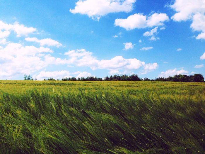 Barley crop in field against cloudy sky