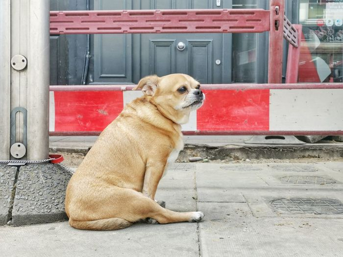 Dog looking away while sitting on footpath