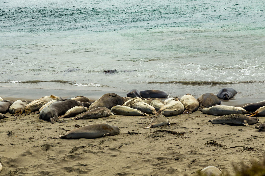 Animal Themes Animals In The Wild Aquatic Mammal Beach Beauty In Nature Day Elephant Seals Large Group Of Animals Lying Down Mammal Nature No People Outdoors Pacific Coast Highway Piedras Blancas Relaxation Sand Sea Sea Lion Seal - Animal Seals Seals On Beach Shore Sky Water