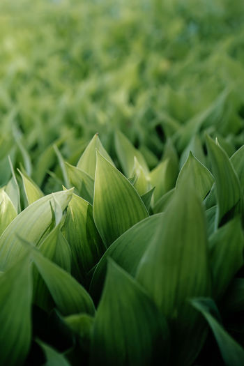 Natural background of lily of the valley leaves.