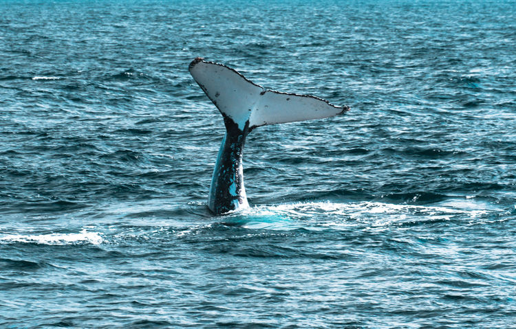 The Week On EyeEm Whale Humpback Whale Animals In The Wild Aquatic Mammal Animal Fin Outdoors Animal Themes Travel Photography Beauty In Nature