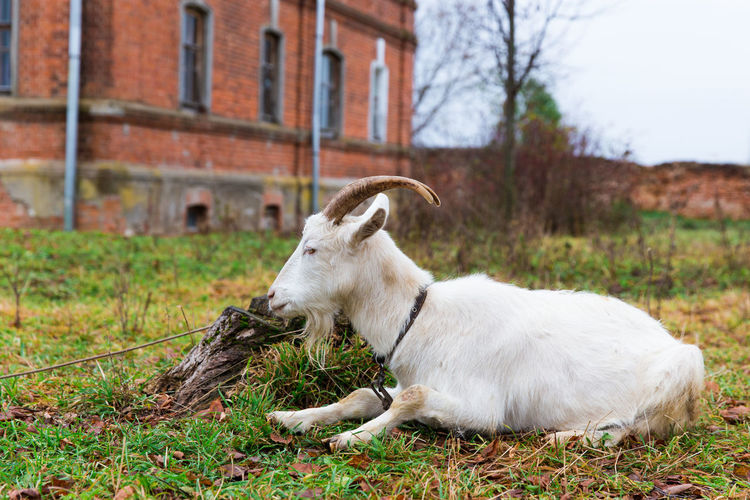 A white domestic goat is sitting at a meadow on red walls background Autumn Farm Field Goat Grazing Horns Sitting Young Animal Architecture Background Cute Day Domestic Domestic Animals Fall Focus On Foreground Grass Mammal Meadow One Animal Outdoors Sky Town Village