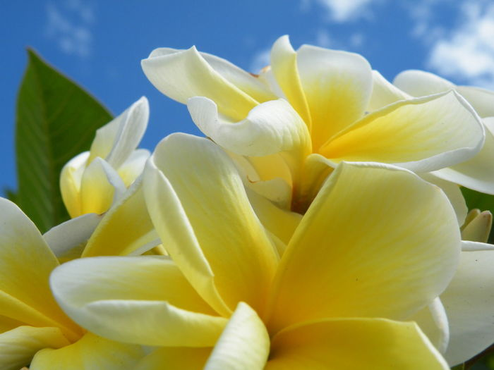 Apocynaceae Frangipani Hundsgiftgewächs Plumeria Beauty In Nature Close-up Day Flower Flower Head Flowering Plant Focus On Foreground Fragility Freshness Growth Inflorescence Nature No People Outdoors Petal Plant Sky Vulnerability  White Color Yellow