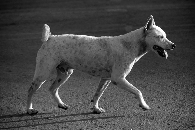 Stray dog in Thailand starting to run Abandoned Animal Bangkok Black And White Dog Mixed Breed Mongrel Pet Running Stray Stray Dog Street Dog Streetside Thailand Trotting