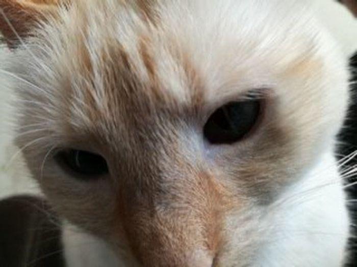 Portrait Kitten Domestic Cat Feline Looking At Camera Whisker Animal Hair Animal Eye Close-up