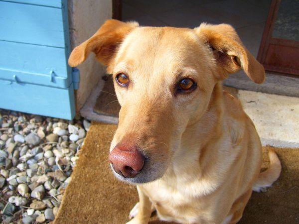 Alertness Animal Themes Close-up Cute Dog  Day Dog Domestic Animals Friendly Head Shot  Mammal No People One Animal Outdoors Pets Portrait Yellow Dog
