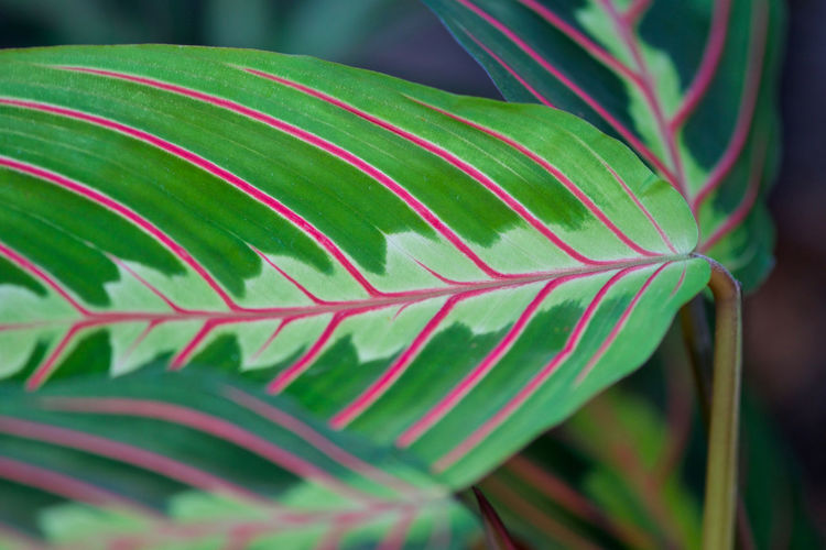 Houseplant Growth Pattern, Texture, Shape And Form Plant Beauty In Nature Close-up Forcus On Forground Green And Pink Colour Maranta Leuconeura No People,