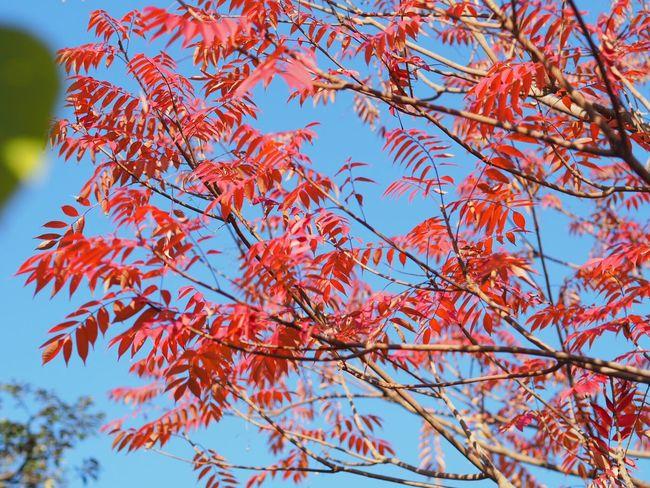 Colored leaves in Mukoujima Hyakkaen Nature Beauty In Nature Tokyo,Japan Colored Leaves Mukoujima Red Japanese Garden