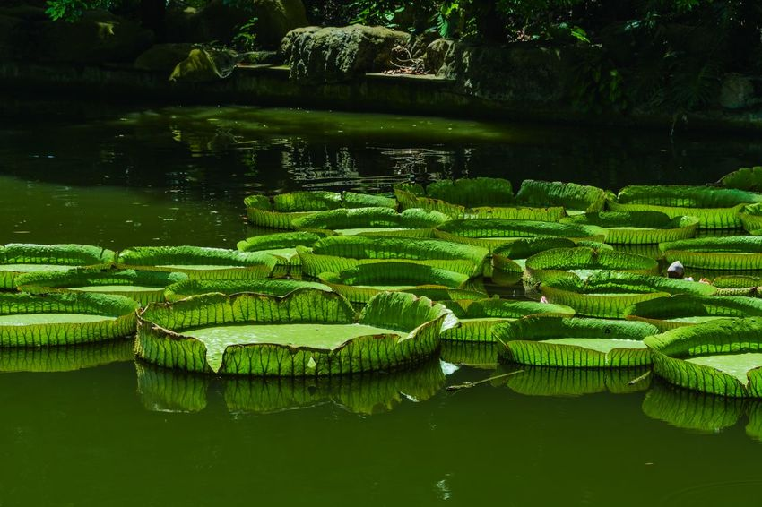 Animal Themes Beauty In Nature Day Floating Floating On Water Freshness Green Color Growth Leaf Lily Pad Lotus Lotus Water Lily Nature No People Outdoors Plant Pond Reflection Scenics Standing Water Tranquility Water Water Lily Water Plant Waterfront 南宁青秀山