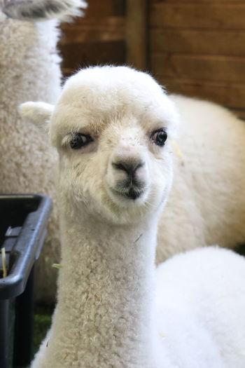 White EyeEm Selects Portrait Llama Alpaca Looking At Camera Close-up Animal Nose Animal Hair Animal Face Hairy  Animal Head  Animal Mouth Animal Eye Livestock Snout Animal Ear Nose