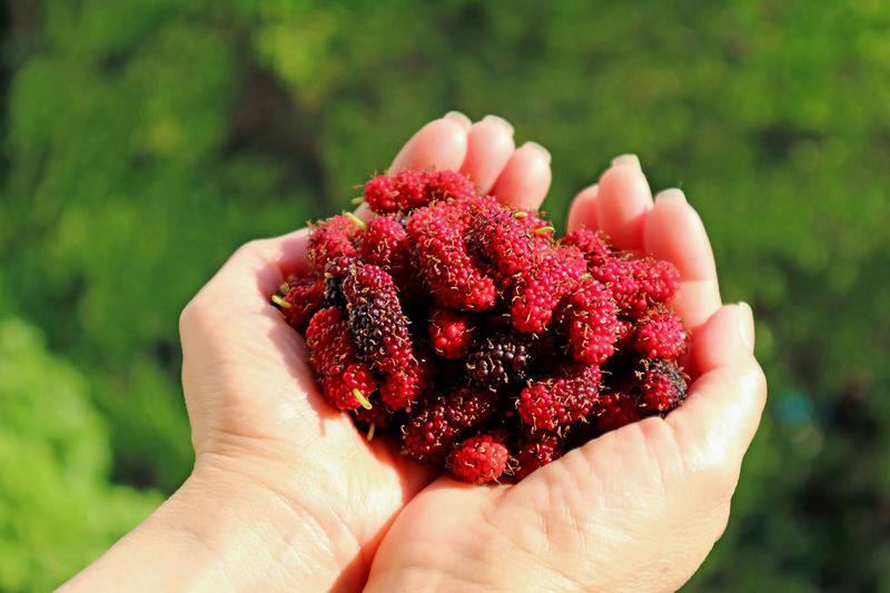 Woman's hands filled with fresh picked mulberry fruits