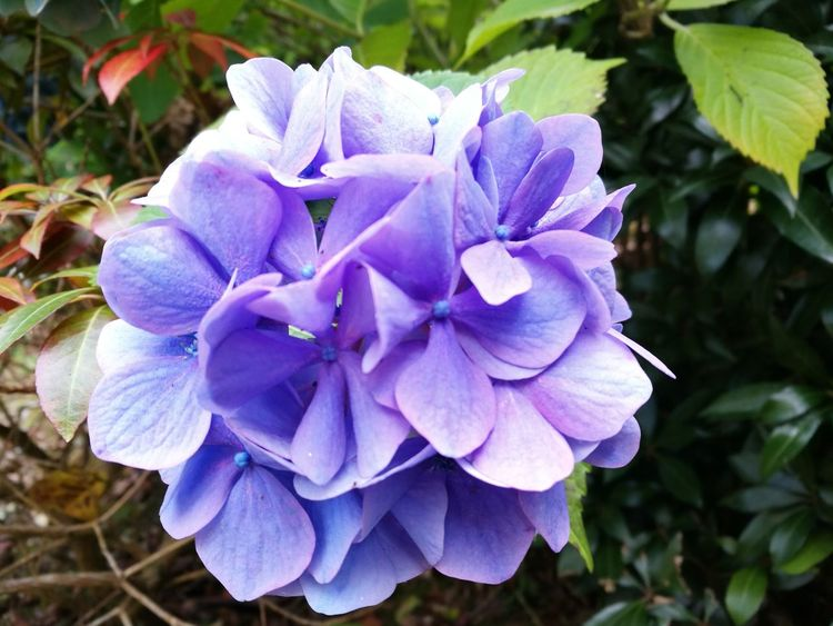 Flower Fragility Freshness Petal Flower Head Close-up Purple Growth Beauty In Nature Nature Plant Blue Springtime In Bloom Single Flower Day Blossom Blooming Botany Bloom