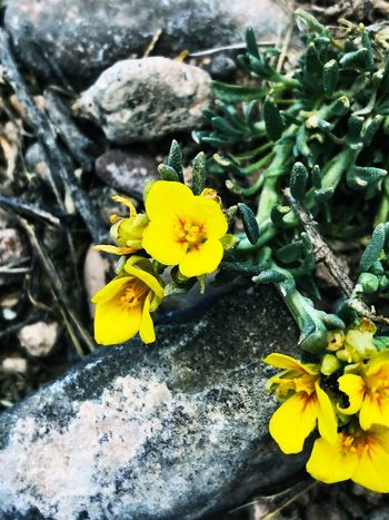 """""""Nature's Composition"""" Beautiful, tiny, yellow wildflowers contrast with natural stones in a unique unposed composition. New Mexico Photography New Mexico Close-up Nature Yellow Wildflowers Yellow Flower Wildflowers Wildflower Flower Plant Yellow Flowering Plant Growth Beauty In Nature Fragility"""