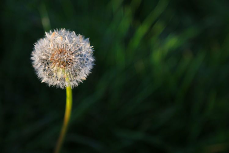 Beauty In Nature Close-up Dandelion Dandelion Seed Flower Growth Nature No People Outdoors Plant Single Flower Softness