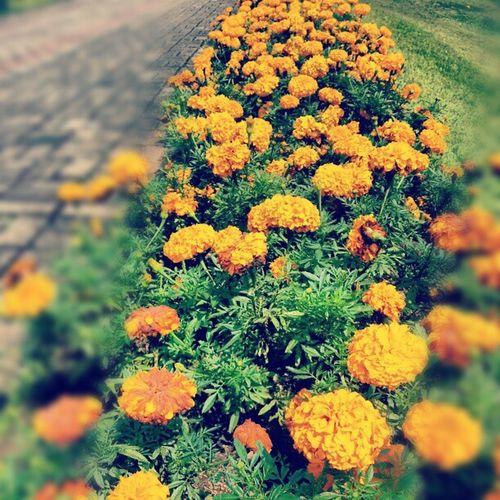 Orange flower Flower Orange Puncak  Tamanbunga bunga tamanbunganusantara