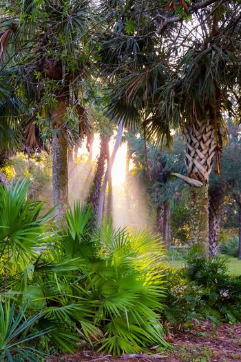 Colors of the jungle Sunrise Morning Sun Sunshine Through The Trees Jungle Growth Tree Green Color Plant Nature No People Outdoors Palm Tree Tranquility Day Beauty In Nature