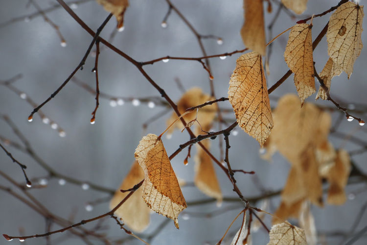 Weather Tree Leaf Plant Part Focus On Foreground Close-up Branch No People Plant Nature Day Autumn Change Vulnerability  Outdoors Leaves Cold Temperature Fragility Dry Winter Beauty In Nature Natural Condition Thaw Snowbreak