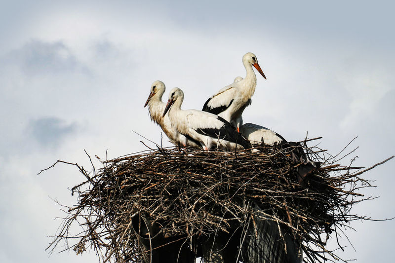 Storks Storks Nest Animal Animal Family Animal Nest Animal Themes Animal Wildlife Animals In The Wild Beak Bird Bird Nest Ciconia Group Of Animals Low Angle View Nature No People Sky Stick - Plant Part Stork Vertebrate Young Animal Young Bird At Home