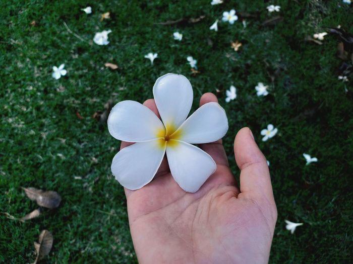 Cropped hand holding frangipani on land