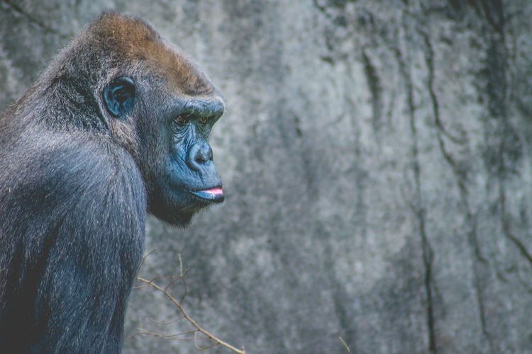 Close-up of gorilla looking away against wall