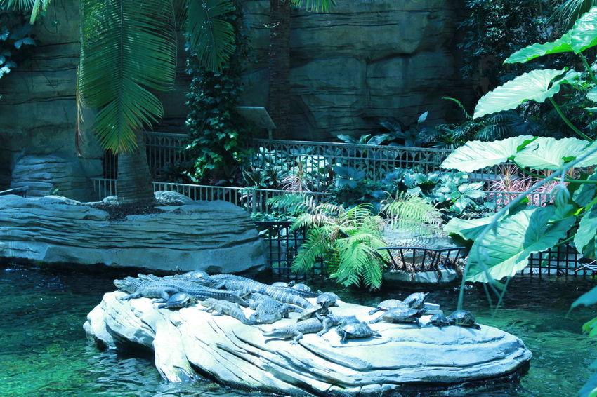 April, 2018, Orlando FL Travel Brazilian Scrapbook 2018 Orlando Florida Tortugas Crocodiles Hotelgaylord