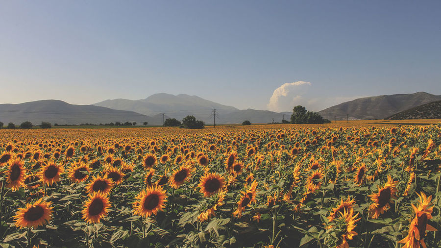Sunflowers Field Agriculture Country Nature