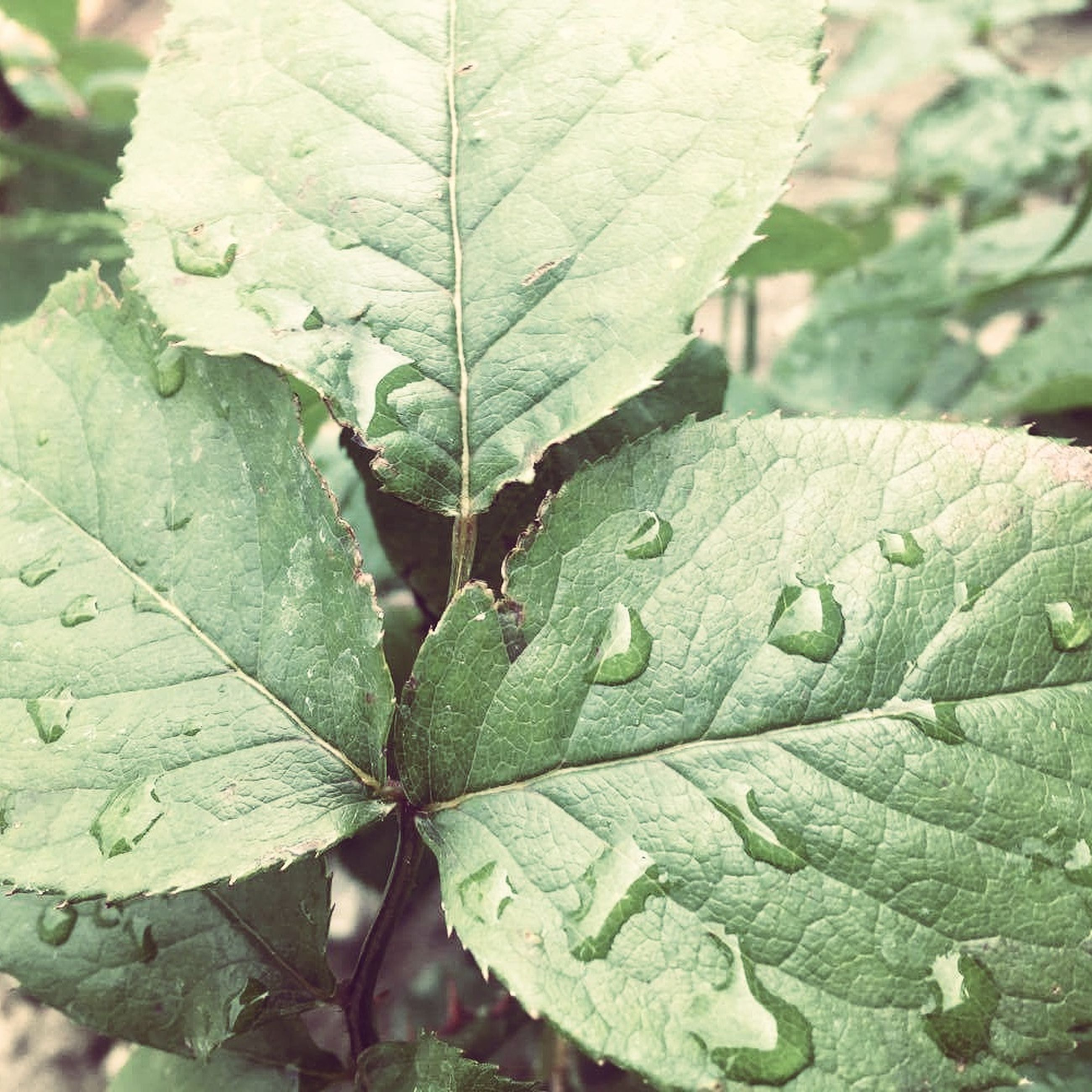 leaf, leaf vein, close-up, green color, growth, nature, drop, focus on foreground, leaves, natural pattern, wet, plant, water, fragility, beauty in nature, selective focus, season, freshness, day, outdoors