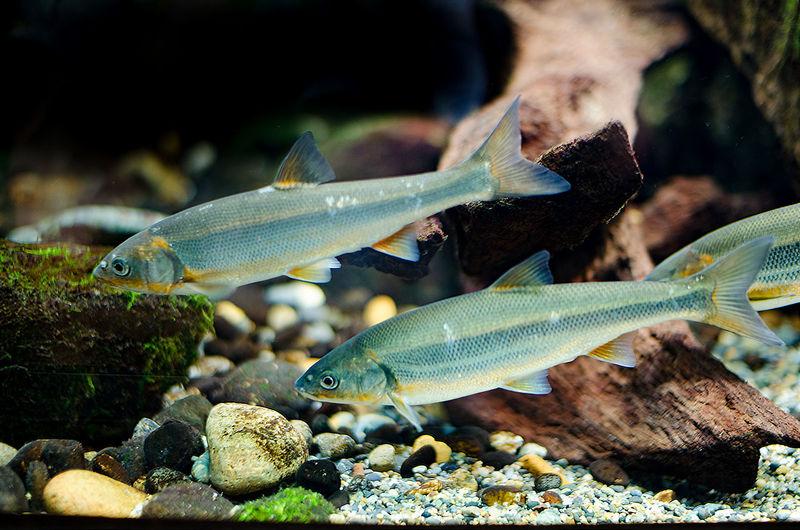 River Fish Animal Themes Animals In The Wild Aquarium Ayu Ayu Fish Fish Freshwater Fish Japanese Fish Nature River Life Sea Life Swimming UnderSea Underwater Water