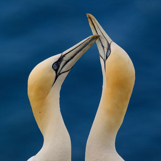 Close-up of gannets against sea