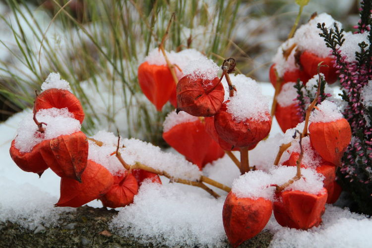 Lampion Flower with the first Snow Beauty In Nature Close-up Cold Temperature Day Fragility Freshness Garden Garden Photography Lampionblume Nature No People Outdoors Physalis Alkekengi Plant Plants Plants Winter Red Snow Winter