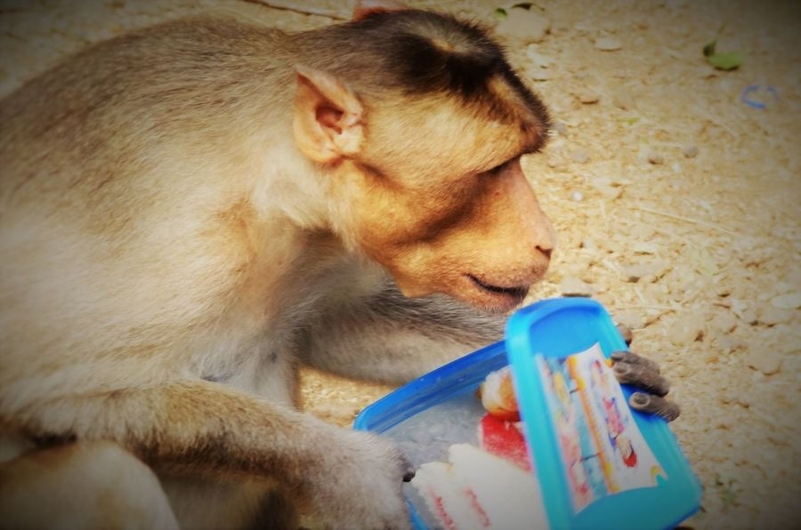 Its Lunchtime! Animal Themes Animals In The Wild Curiosity Eating Monkey Monkey Thief One Animal Robber Thief TIFFIN