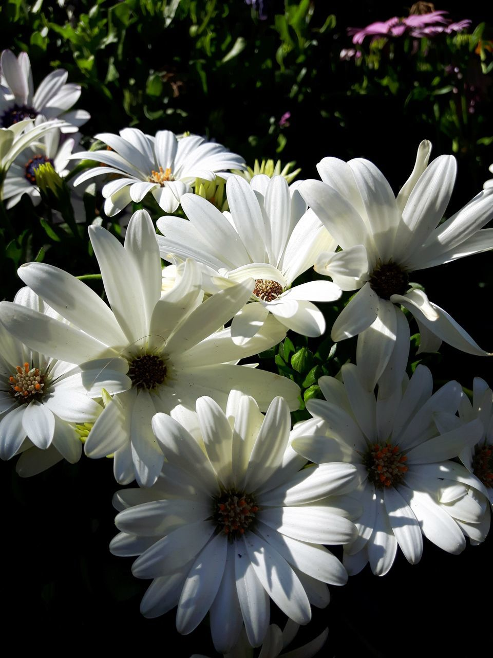 flower, white color, petal, beauty in nature, nature, fragility, freshness, no people, plant, growth, flower head, osteospermum, blooming, outdoors, day, close-up
