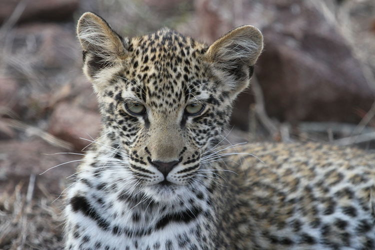Close-Up Of Leopard
