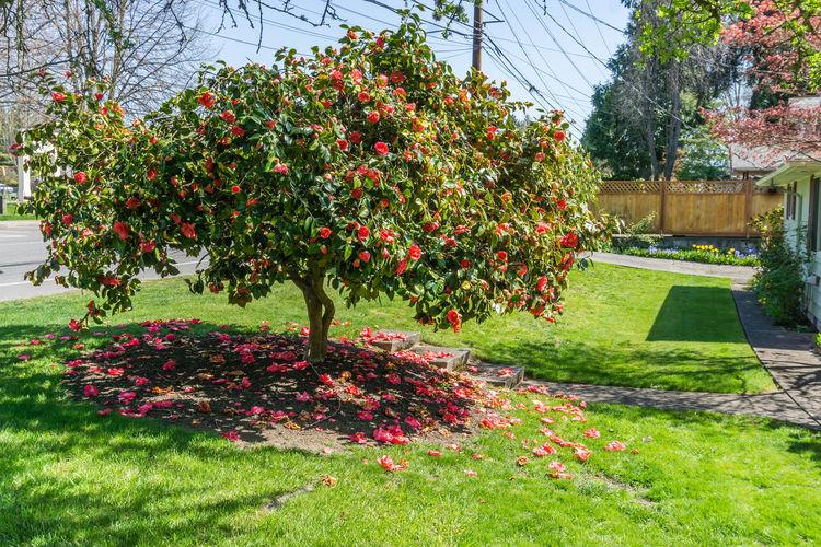 View of red flowering tree in garden