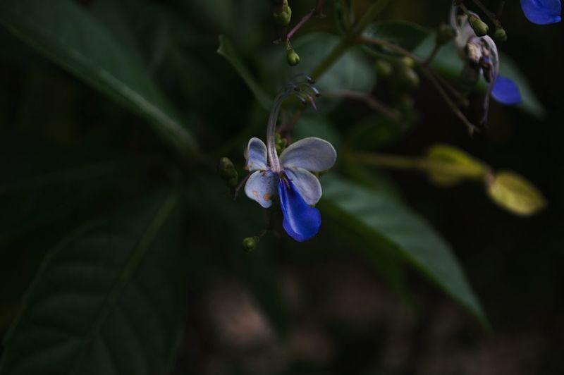 The Flower with hidden properties, Outdoors Close-up Blue Beauty In Nature Nikon Pintoartmuseum The Week On EyeEm Breathing Space EyeEm Best Shots