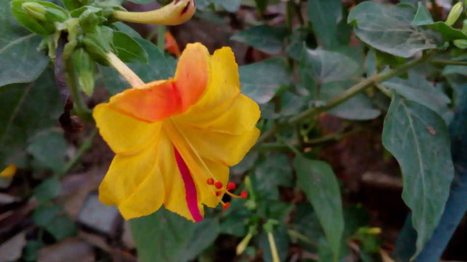Flower Petal Fragility Nature Plant Beauty In Nature Flower Head Yellow Freshness Leaf Growth Outdoors Close-up Day No People Multi Colored Red Beauty Springtime Beatiful View Blossoming Fresh & Bright Colorfull Art NoEditNoFilter Natrual Beauty :)