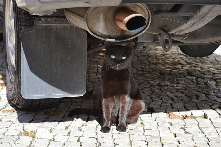 Portrait of cat standing on street