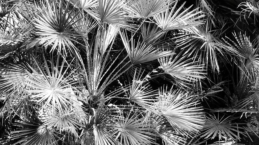 Palm Tree Growth Full Frame Backgrounds Outdoors No People Nature Plant Low Angle View Day Sky Close-up Tree Benalmádena, Malaga, Spain Arroyo De La Miel Blackandwhite Blackandwhite Photography Black And White Black & White