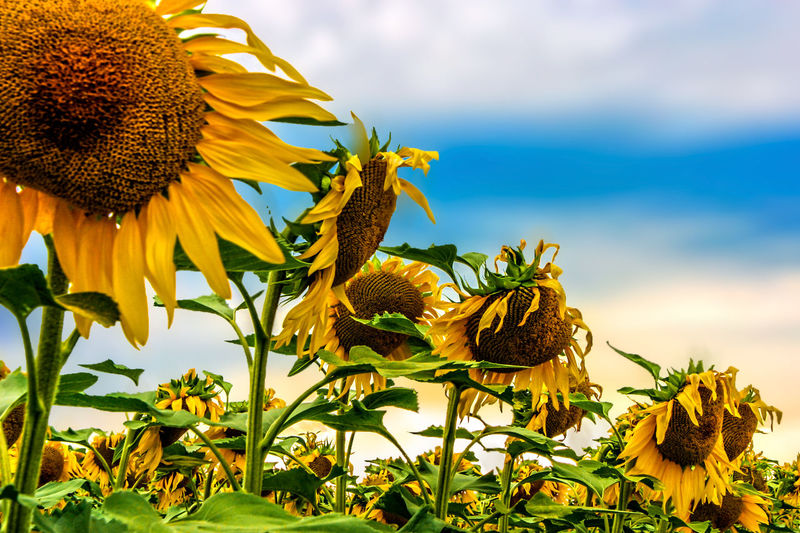 Beauty In Nature Blooming Day Flower Flower Head Freshness Growth Nature No People Outdoors Petal Plant Sky Sunflower Sunflowers Field Sunflowers🌻 Yellow
