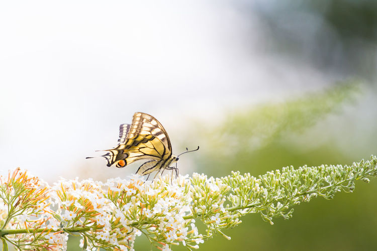 Soft Soft Light Animal Animal Wildlife Animal Wing Beauty In Nature Butterfly Butterfly - Insect Close-up Flower Flowering Plant Fragility Insect Nature Outdoors Plant Spring Spring Flowers First Eyeem Photo