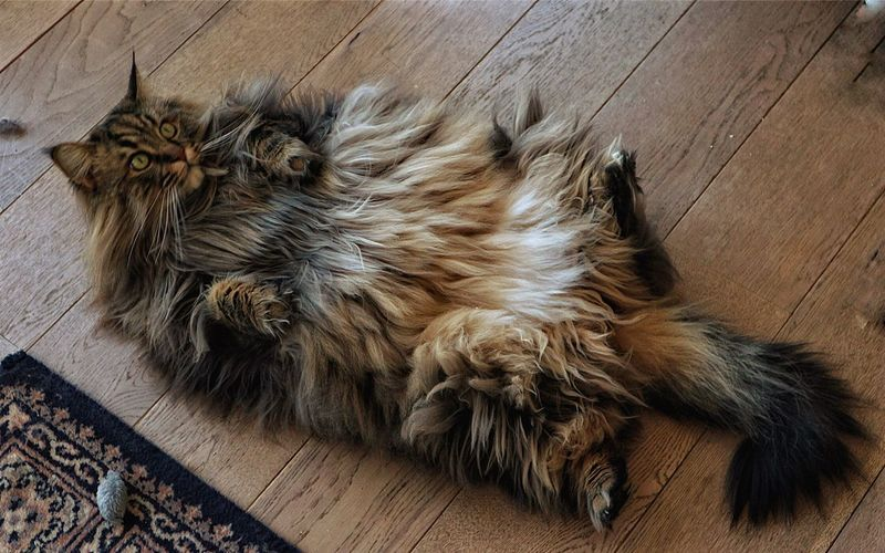 One Animal Animal Themes Pets Domestic Animals Mainecoon Cat Animal Hair Mammal Relaxation High Angle View No People Hairy  Close-up Day Outdoors