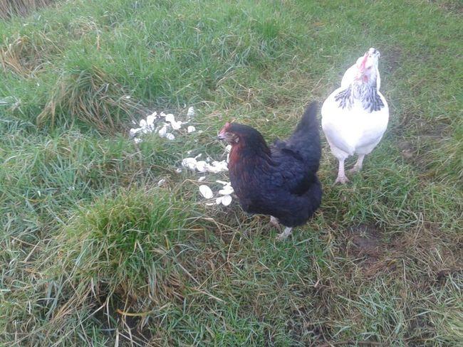 Hens °not° enjoying yesterday's leftover prawn crackers °déjeuner Sur L'herbe° #amlp