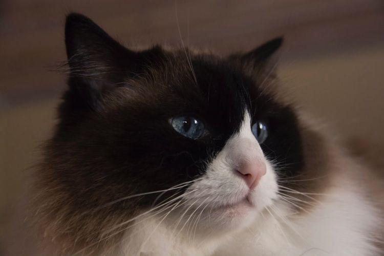 Happiness is cat. Ragoll Domestic Cat Pets Cat Love Feline Whisker Indoor Cat Purebred Purebred Cat Cat Love One Animal Indoors  Domestic Animals Close-up Pet Portraits
