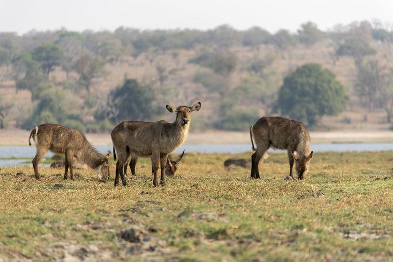 Wayerbuck grazing in a field
